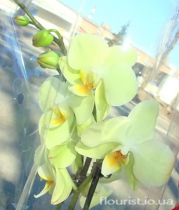 Орхидея фаленопсис: фото, видео, виды фаленопсис, характеристика и описание