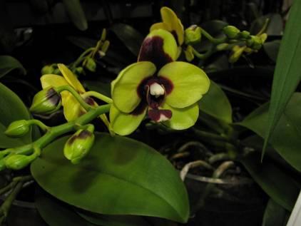 Из-за чего засохли корни у орхидеи: как спасти и реанимировать?