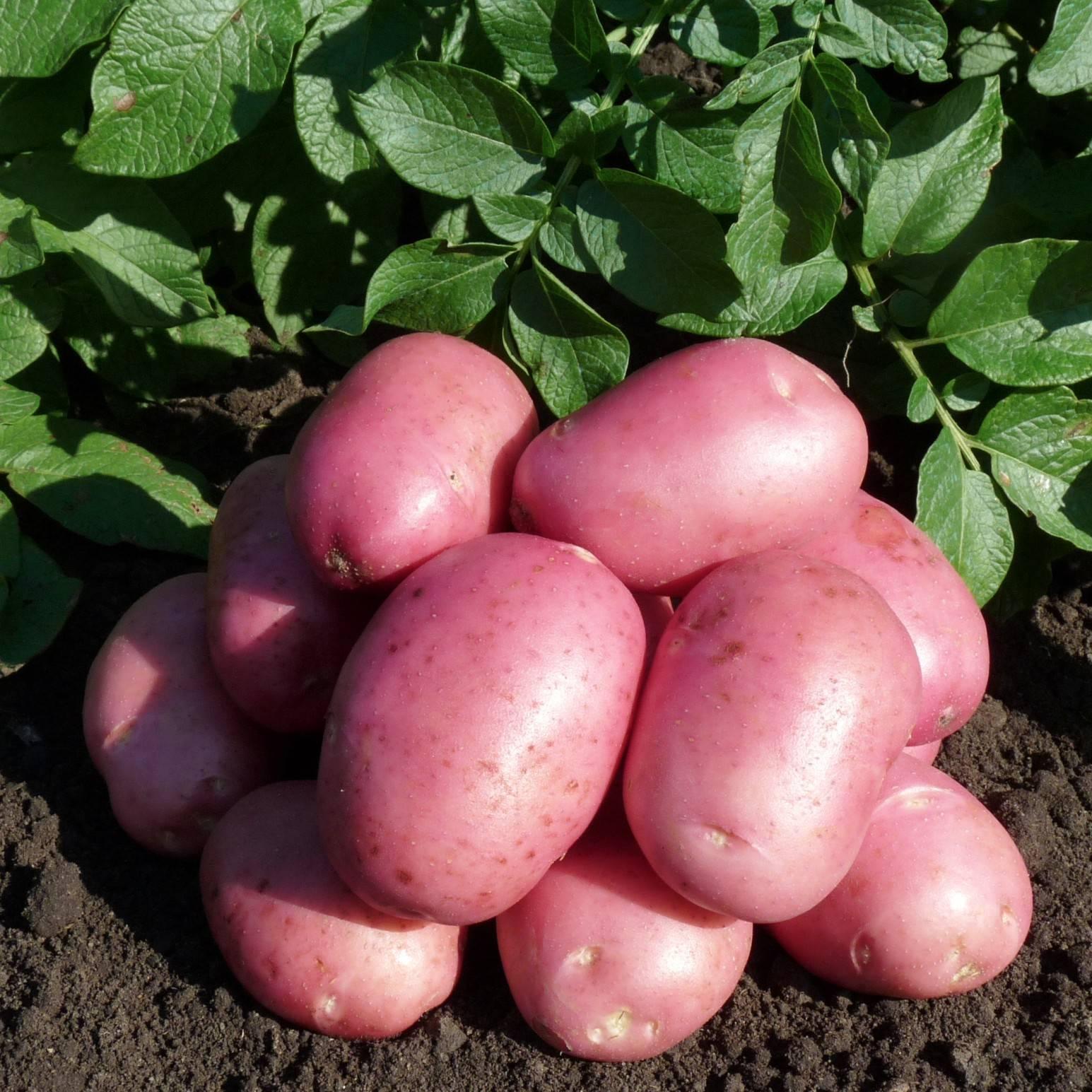 Картофель семенной: сорта (характеристика и описание)