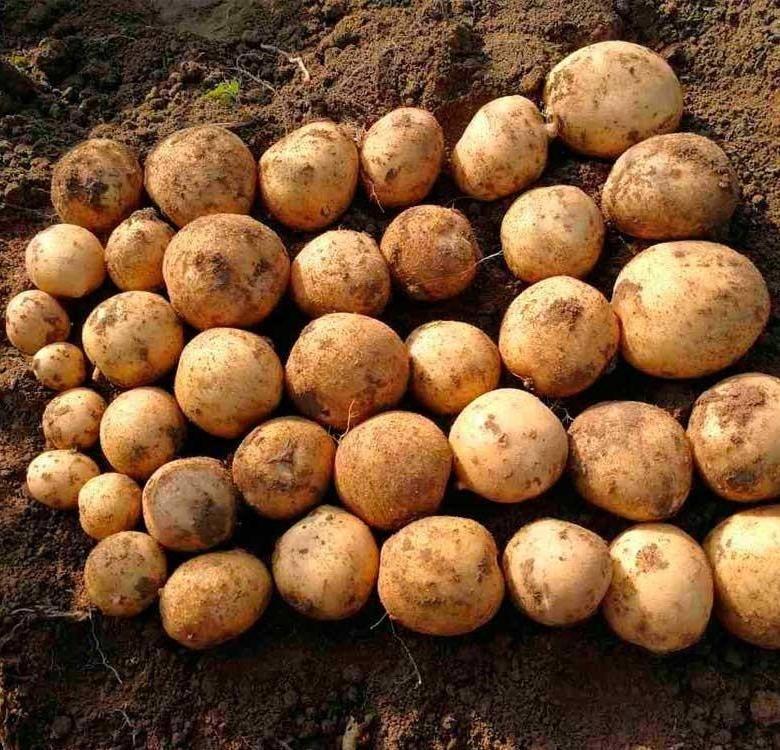 Лучшие сорта картофеля: описание, фото, характеристики