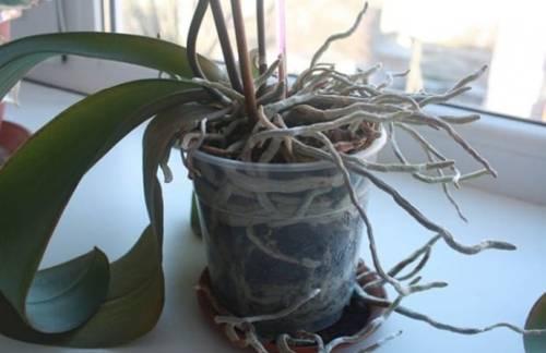 Почему у орхидеи сохнут корни: все причины от чего это бывает, что делать, если их воздушная часть гибнет сверху, а также фото и правила ухода в домашних условиях selo.guru — интернет портал о сельском хозяйстве