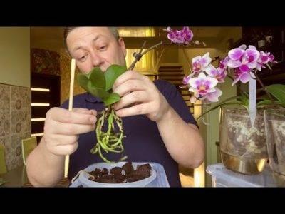 Чесночная вода для орхидей: зачем и как подкармливать чесночной водой, рецепт раствора, польза