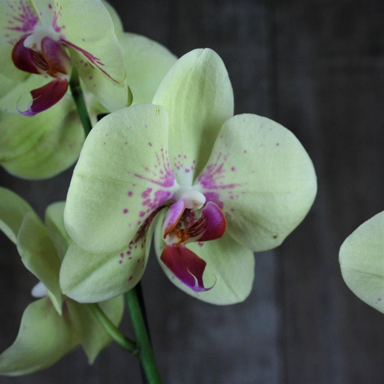 Голубая орхидея: крашеная или нет, существует ли данного цвета, есть и бывает ли в природе?