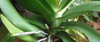 Почему у орхидеи короткий цветонос с маленькими бутонами и как вернуть былое великолепие?