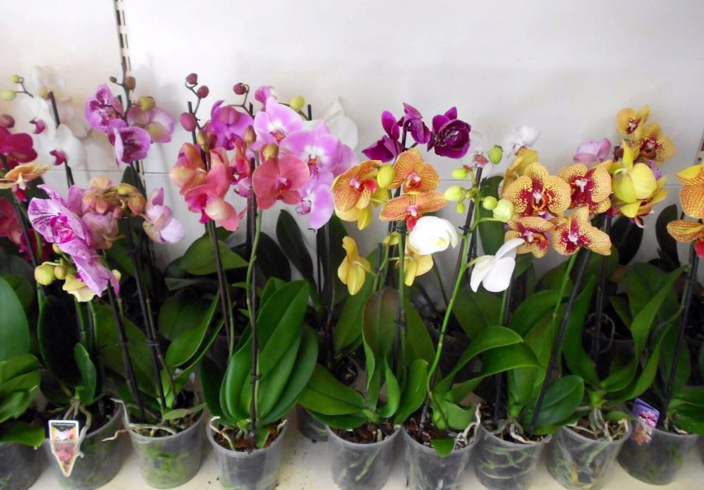 Фаленопсис клеопатра: отличительные характеристики орхидеи, много красивых фото с описанием цветения, а также уход и содержание дома