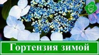 Уход за гортензией осенью (подготовка к зиме)