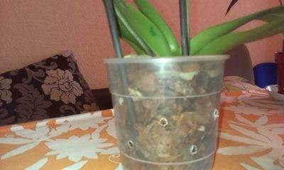 Чеснок - настоящее спасение для орхидей!