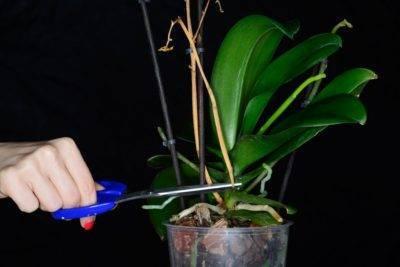 Почему у орхидеи желтеют листья. что делать и как помочь растению