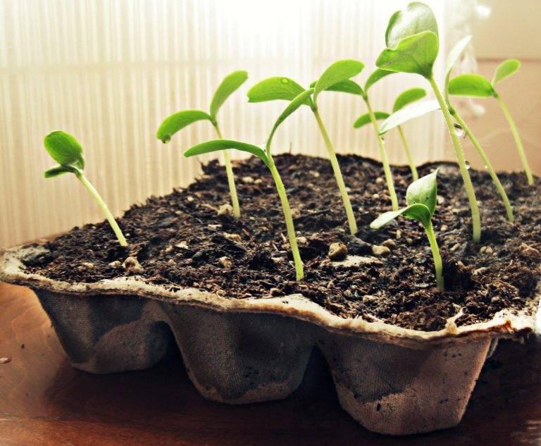 посев кольраби на рассаду в подмосковье