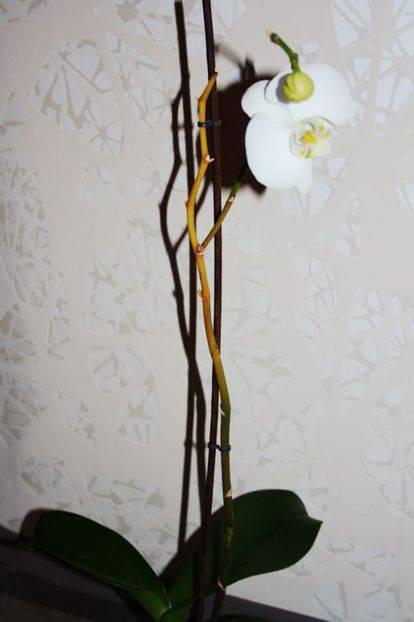 У орхидеи желтеют листья: что делать, если нижние и верхние листья желтеют у основания и опадают? причины и лечение, уход в домашних условиях