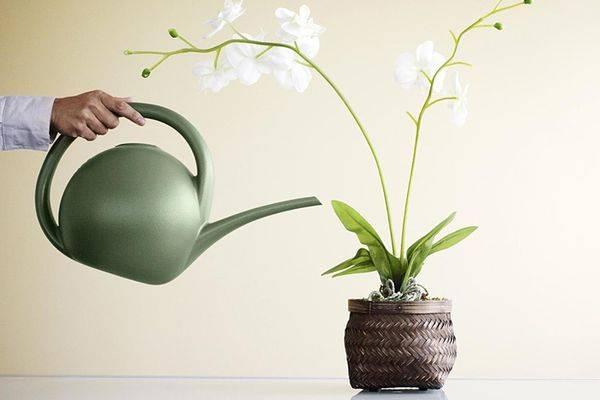 Экспериментальный полив орхидеи чесноком: зачем и как?