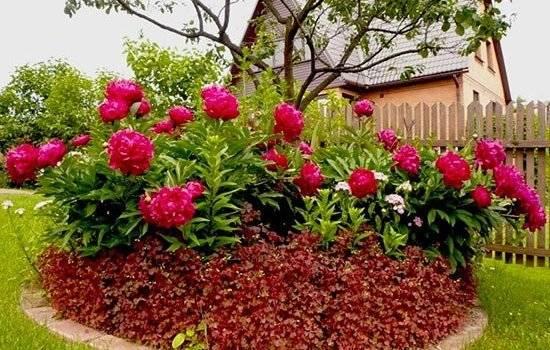 Уход за пионами после цветения: как подготовить растение к зиме