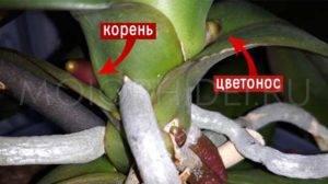 Какими должны быть здоровые корни у орхидеи: фото и внешние признаки