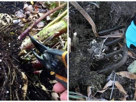 Как хранить георгины зимой в домашних условиях: после выкопки, в квартире, в погребе или подвале до весны
