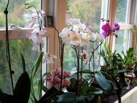 Витаминный коктейль для орхидей в домашних условиях: рецепты приготовления, видео о том, как сделать и применить составы для подкормки с витамином в1