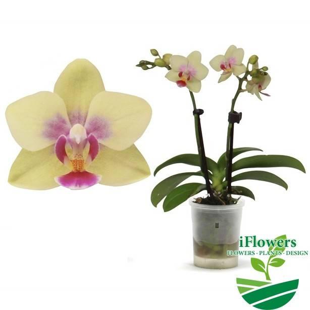 Необычные зеленые орхидеи: фото и сорта