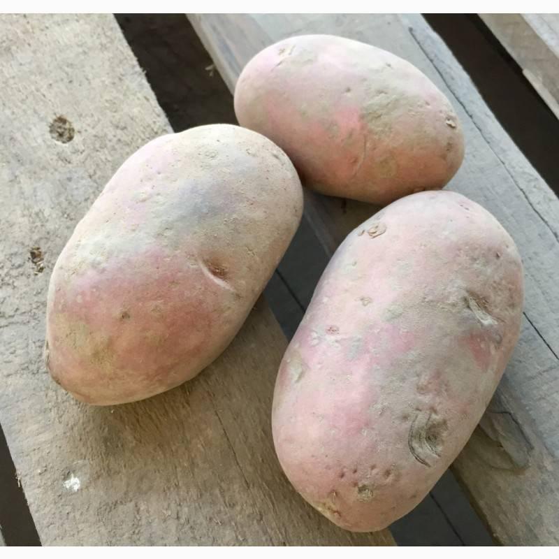 Сорта картофеля для черноземья