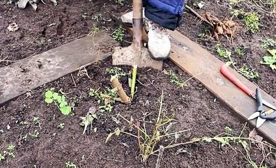 Когда выкапывать георгины и как хранить клубни зимой