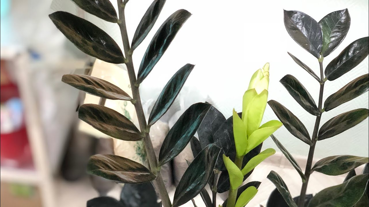 Ядовитые домашние растения   хиллс