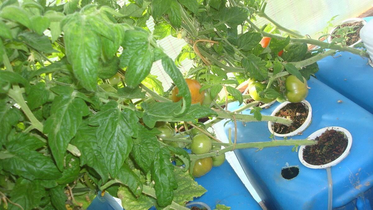 Технология выращивания помидоров на гидропонике, лучшие сорта и удобрения
