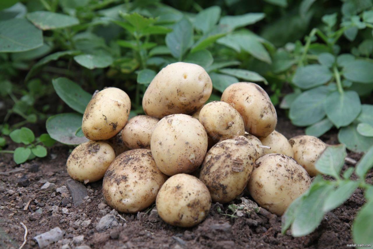 Выращивание картошки из семян: плюсы и минусы, технология
