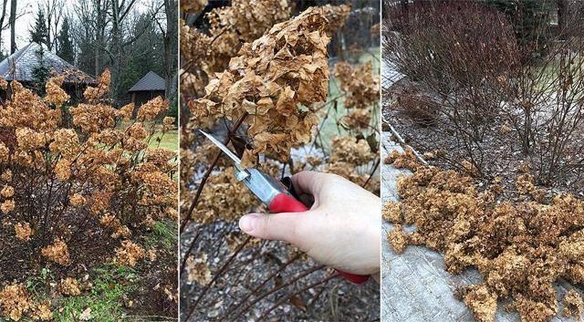 Уход за древовидной гортензией: обрезка, подкормка, зимовка
