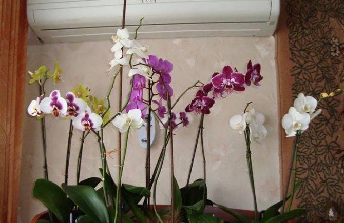 Нежная белая орхидея: уход в домашних условиях