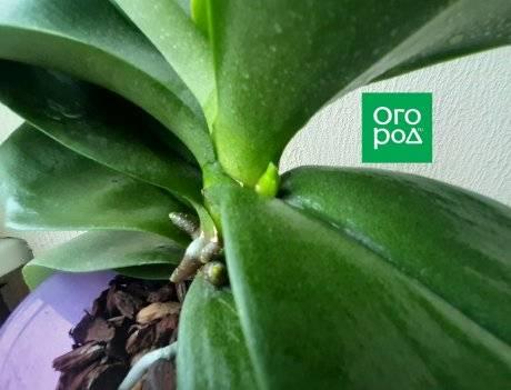 Как растет цветонос у фаленопсиса: как выглядит на фото, как отличить от корня, долго ли формируется, сколько стрелок орхидея выпускает, что делать, если сломался? selo.guru — интернет портал о сельском хозяйстве