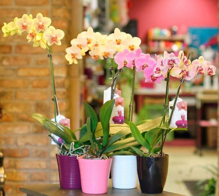 Какой уход нужен фаленопсису в домашних условиях после покупки в магазине?