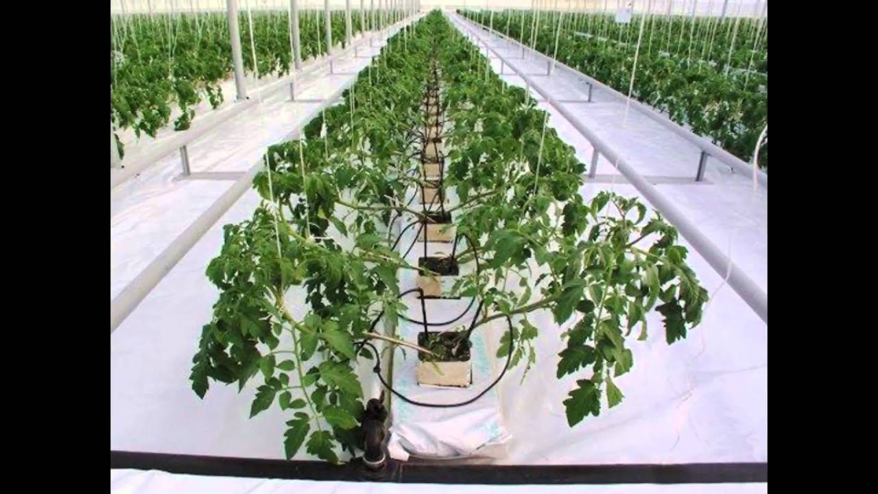 Современные методы — в массы! выращивание томата на гидропонике не дань моде, а требование времени