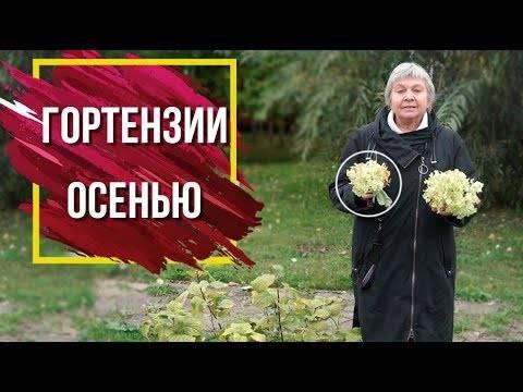 Подготовка гортензии к зиме: обрезка и укрытие