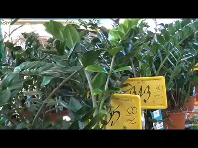 Долларовое дерево: фото, как цветет, описание и уход в домашних условиях - sadovnikam.ru