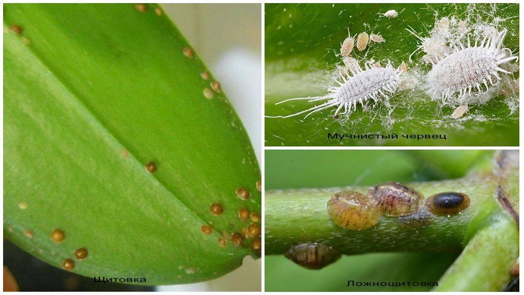 Вредители орхидей (19 фото): что делать, если на орхидее фаленопсисе появились худые маленькие белые жучки, щитовка или пауки?
