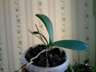 Почему у орхидеи желтеют нижние листья и что делать: из-за чего они становятся мягкими и отваливаются, появляются у основания стебля у цветущей орхидеи