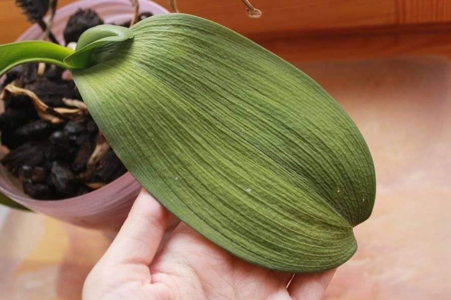 У орхидеи вянут листья: какие причины, что делать, профилактика