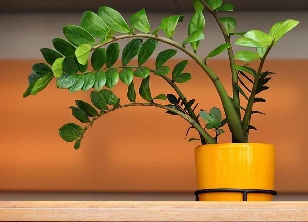 Долларовое дерево: цветение замиокулькаса, уход в домашних условиях