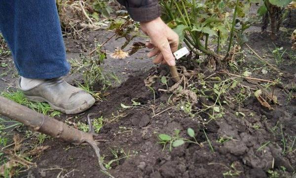 Как хранить георгины зимой в домашних условиях: от а до я – выкопка, обработка, подготовка клубней к хранению – 4 сезона огородника