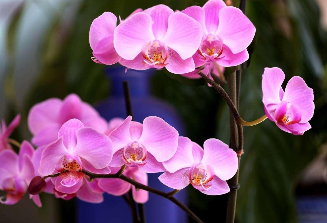 Почему у орхидеи стали мягкими листья: определяем причину и варианты помощи цветку