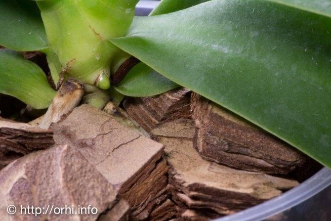 Как отличить цветонос от корня у орхидеи? фото и видео в помощь цветоводу