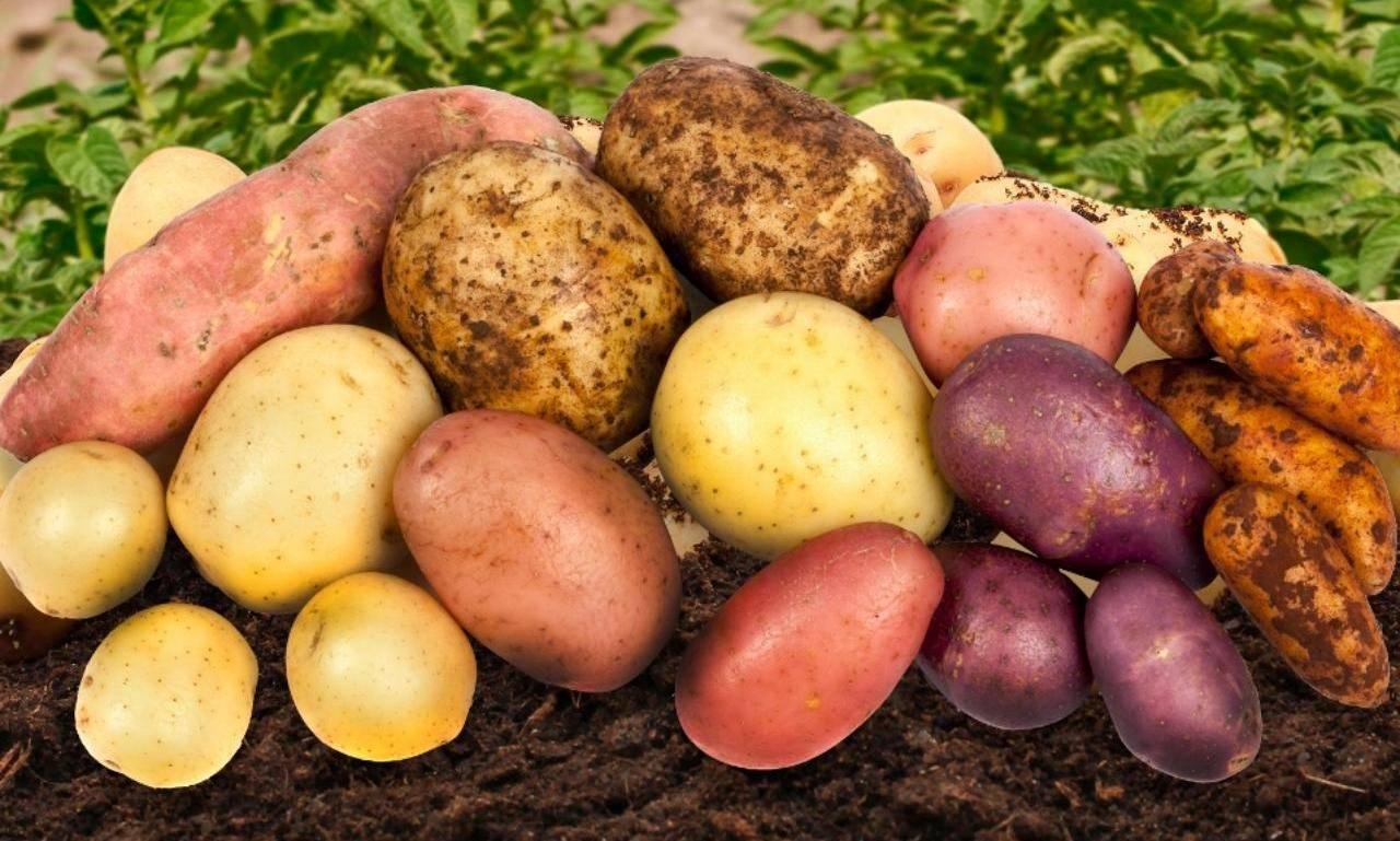 ᐉ сорта картофеля для центрально-черноземного региона: список - roza-zanoza.ru