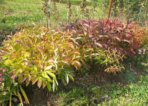 Подкормка пионов осенью