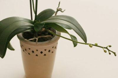 Как отличить корни от цветоносов у орхидеи: фото того, как выглядит стрелка, когда только появляется, подсказки для определения детки и советы по уходу за растением selo.guru — интернет портал о сельском хозяйстве
