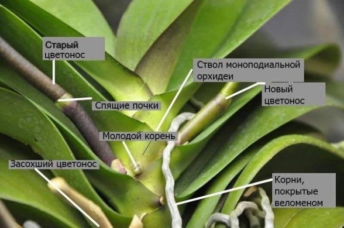 Орхидея выпустила цветонос: что делать дальше, когда на растении появились бутоны, какой уход необходимо обеспечить