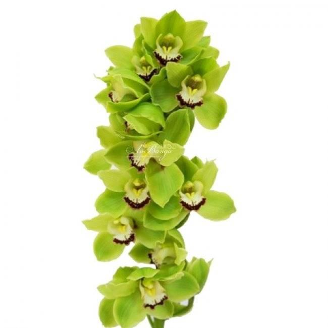 Превосходные пятнистые орхидеи: фото и сорта