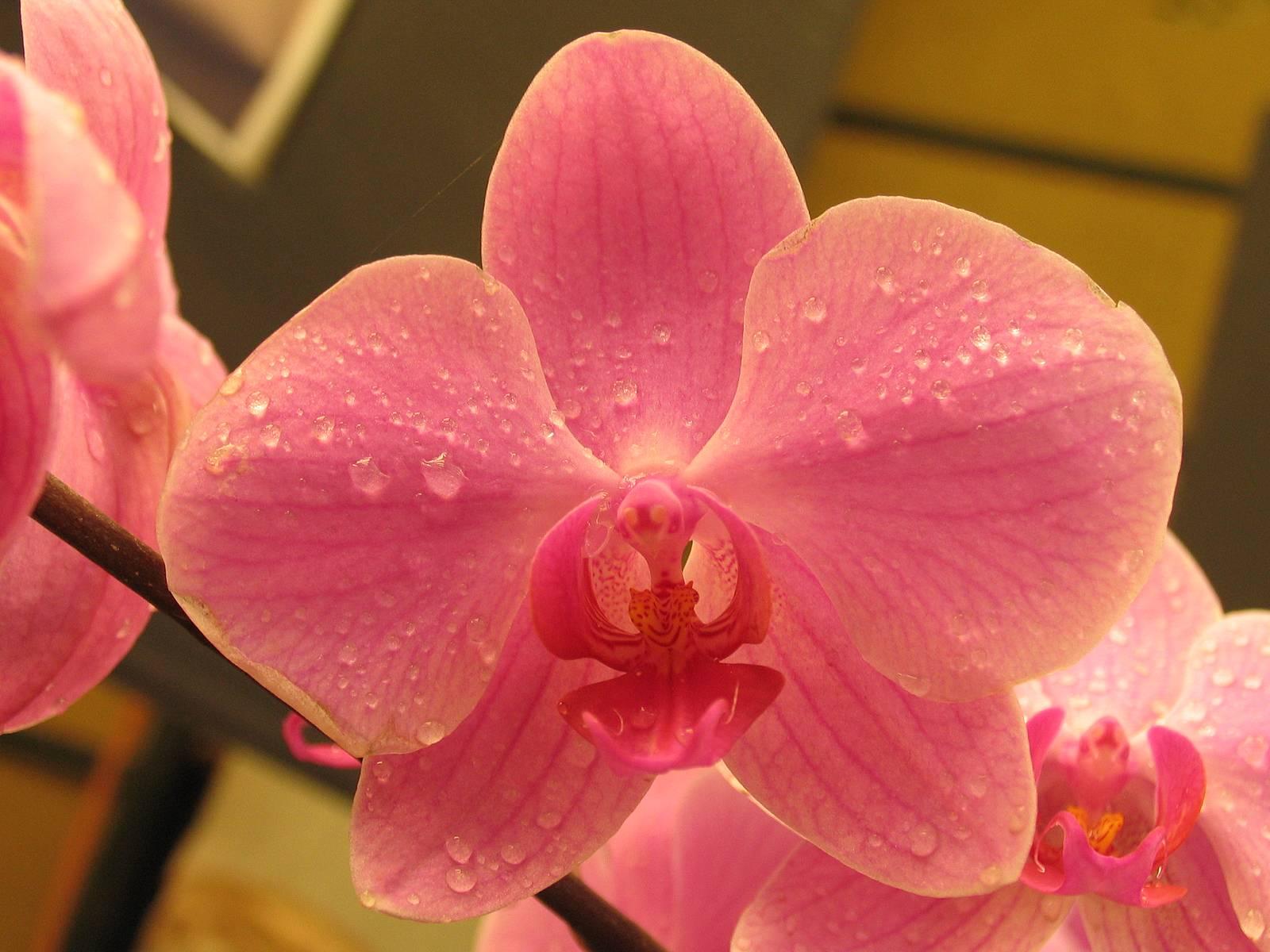 Уход за орхидеей после покупки: советы цветоводу