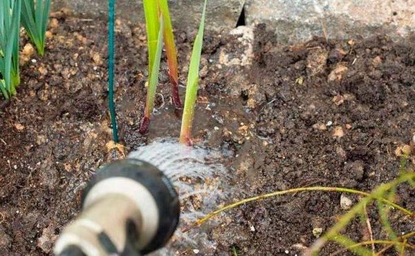 Как обеспечить уход за георгинами осенью и подготовить клубни к зиме