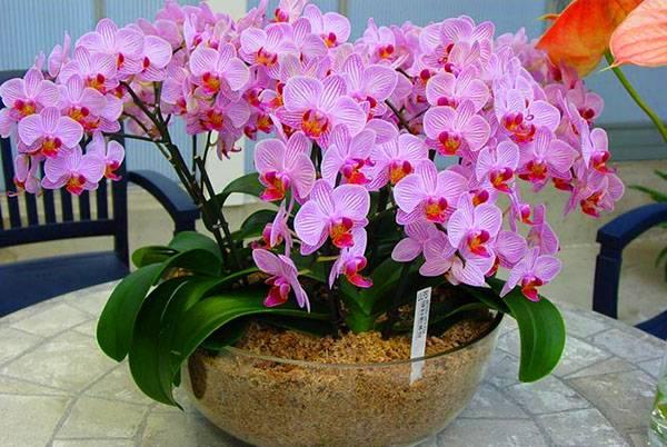 Почему не цветет фаленопсис: как заставить и что делать, чтобы орхидея выпустила новые бутоны, а также причины, по которым листья растут, а стрелка не появляется