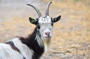 Трудно ли держать козу?