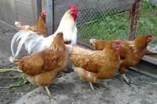 Куры не несут яйца