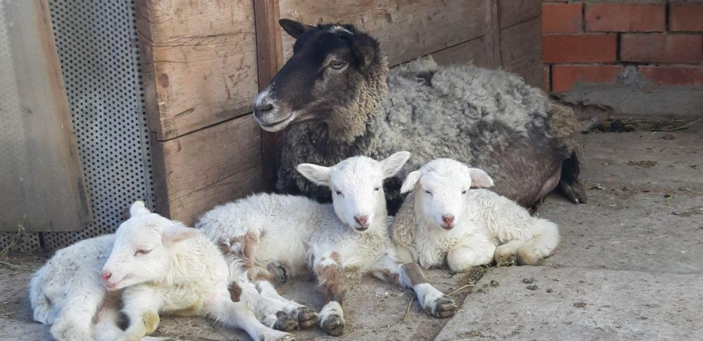 Овца и ягнята